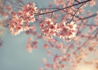 Flor de cerejeira vintage - flor de sakura. fundo da natureza