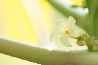 Flor de papaia em papaia