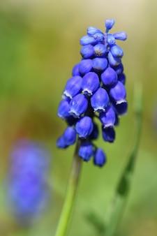 Flor de primavera bonita flor azul jacinto com sol e grama verde. Macro tiro do jardim com um fundo desfocado natural. (Muscari armeniacum)