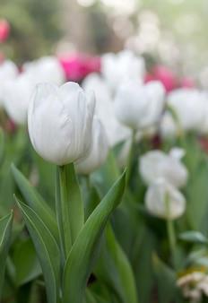 Flor de tulipa branca no jardim