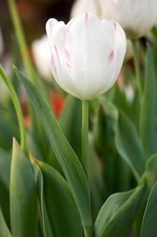 Flor de tulipa branca