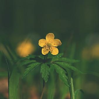 Flor do ranúnculo (Ranunculaceae) Fundo da natureza com o sol.