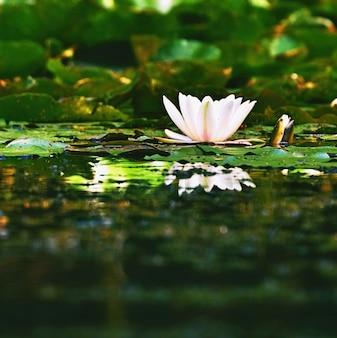Flor em flor bonita - lírio de água branca em uma lagoa. (Nymphaea alba) Fundo borrado natural colorido.