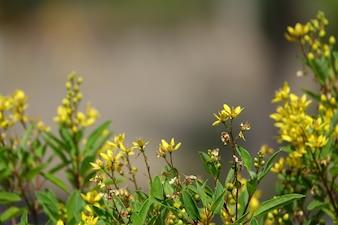 Flores amarelas com fundo muito desfocado