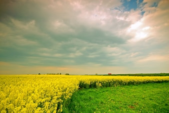 Flores amarelas crescimento