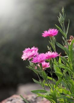 Flores cor-de-rosa em primeiro plano