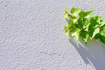 Folhas frescas da hera que escalam no fundo textured branco da parede.