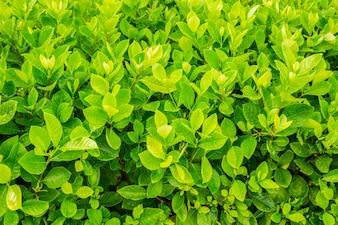 Folhas verdes frescas com gota da água.