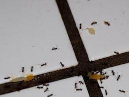 formigas pretas duro no trabalho