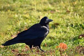 Foto bonita de um pássaro - corvo / corvo na natureza do outono. (Corvus frugilegus)