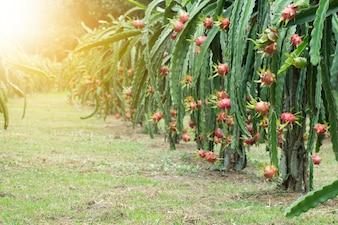 Fruta de dragão na planta, Fruta de Pitaya Cru na árvore, Uma pitaya ou pitahaya é fruto de várias espécies de cactos indígenas das Américas