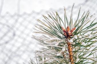 Fundo de inverno com ramos de coníferas e flocos de neve. Fundo de inverno. Decoração de Natal. tempo frio. Paisagem de inverno. Ramo de pinheiro fosco com espaço de cópia