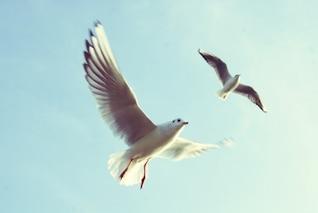 Gaivotas que voam