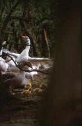 galinha, os pintinhos