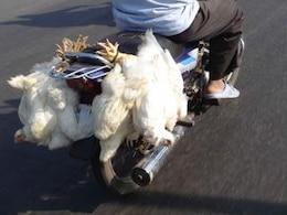 galinha em movimento