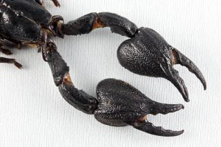 Garras de escorpião preto empalhados