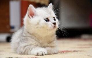 gatinho branco bonito