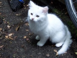 gato branco, gato