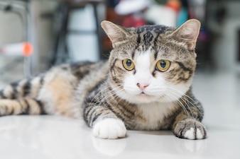 Gato cinza bonito