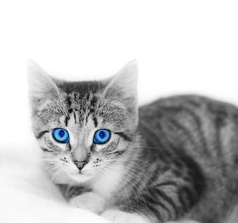 Gato com olhos azuis