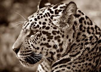 Gato perfil halbwchsig cabeça jaguar sépia