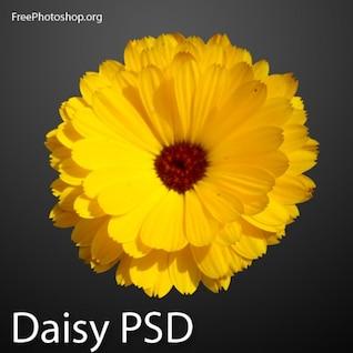 Girassol amarelo bonito PSD