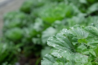 Gota de água em vegetais