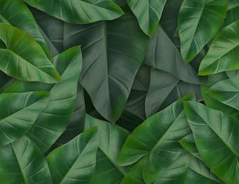 Green Caladium deixa o conjunto de folhas de plantas tropicais para o fundo da natureza ou o verde tropical deixa o conceito do quadro natural,