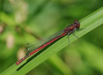 inseto libélula adonis