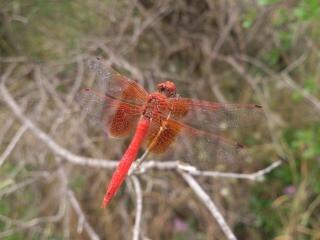 inseto vermelho