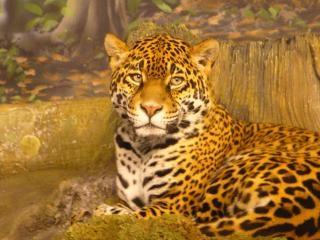 Jaguar selvagem