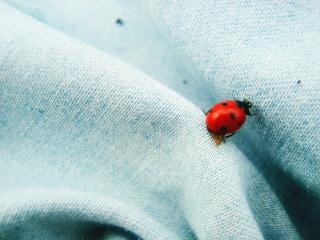 joaninha, bug