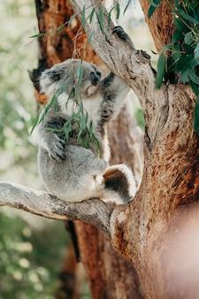 Koala escalando uma árvore de eucalipto.
