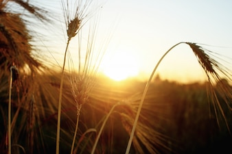 Lâminas de trigo secas