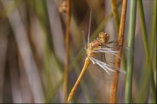 libélula, animal asas,
