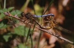libélula, animal closeup,