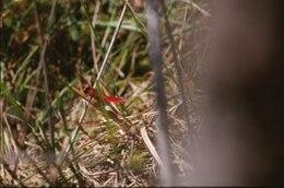 libélula, animal