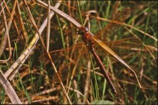 libélula, as asas da libélula