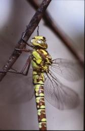 libélula, asas, libélula, macro