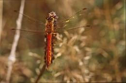 libélula, closeup, inseto