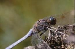 libélula, closeup asas,