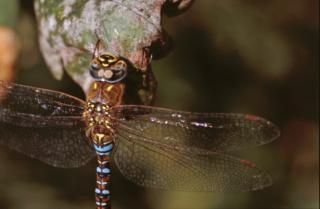 libélula, closeup