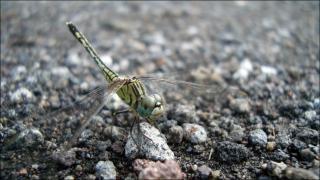 libélula rastreamento