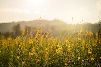 Luz noturna Flores Crotalaria ou flores amarelas