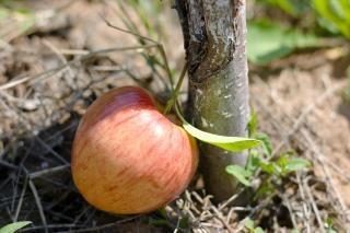 Maçã chão maçã