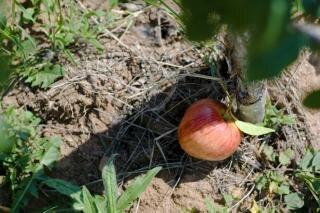 maçã chão