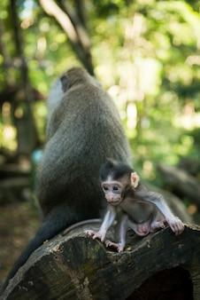 Macaco macaco bebê