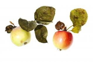 maçãs frescas