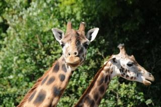 manchas girafas