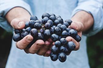 Mãos que prendem o grupo da uva